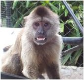 Corporinoquia analiza situaci�n de los monos araguatos en �rea afectada por brote de Fiebre Amarilla en Man�