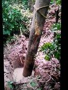 V�ndalos intentaron derribar un poste en Man� ocasionando un corto circuito que mantuvo sin servicio por m�s de 24 horas a la poblaci�n