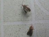 Presencia del vector transmisor del Chagas en sector de Yopal advierten habitantes