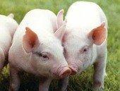 Porcicultores de Paz de Ariporo producir�n m�s limpio