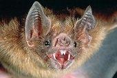 Programa de capturas de murciélagos hematófagos para controlar la enfermedad de la rabia en Casanare