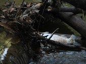 Corporinoquia inició investigación por mortandad de peces en Villanueva