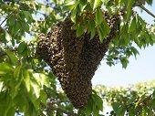 Calor perturba abejas generando emergencias en Yopal