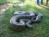 Anaconda de seis metros de longitud fue hallada en un parqueadero de Villavicencio