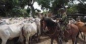 En Paz de Ariporo Ejército frustró el hurto de un lote de ganado