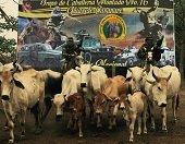 Recuperadas 13 reses en Paz de Ariporo