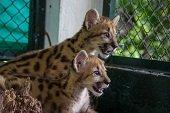 Pumas recuperados en Vichada fueron puestos a salvo en hogar de paso El Picón en Yopal