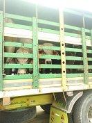 9 toros fueron hurtados de finca en Hato Corozal