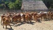 Contrato de mejoramiento genético de razas bovinas suscrito en 2014 apenas empieza a entregar resultados