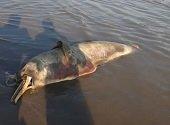 En el Meta también están persiguiendo a los delfines rosados