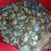 En Casanare se busca erradicar el caracol africano
