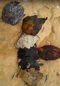 Las gallinas están muriéndose por extraña enfermedad en la vereda La Niata de Yopal