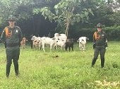 Policía recuperó en Yopal semovientes avaluados en 15 millones de pesos