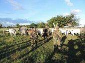 Ejército recuperó ganado hurtado en el Vichada