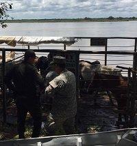 Incautan cargamento de ganado de procedencia venezolana que era transportado por el río Meta