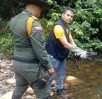 Protección al caimán llanero en el Meta