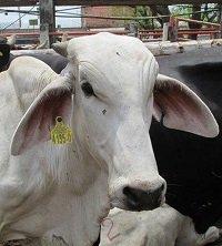 65 chips utilizadas para la identificación de animales fueron hurtados al ICA en Pore