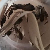 Presencia de insectos transmisores de Chagas generan temor en el Corregimiento de Morichal